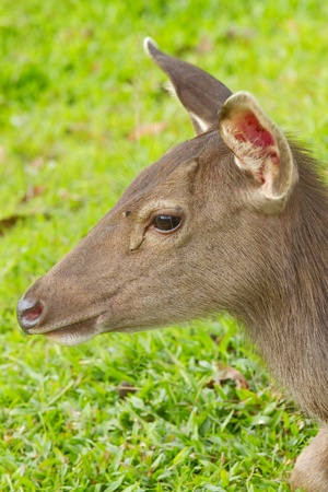 axis: The axis deer closeup