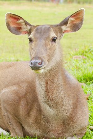 axis deer: The axis deer closeup