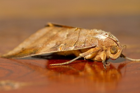 Moth on a wooden table   Stock Photo - 12979115
