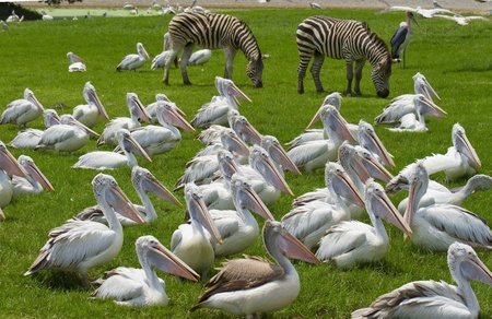 White Pelicans Colony  Stock Photo - 13233165