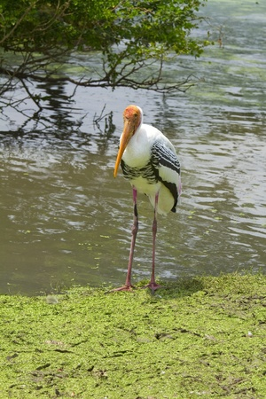 painted stork or Mycteria leucocephala  photo