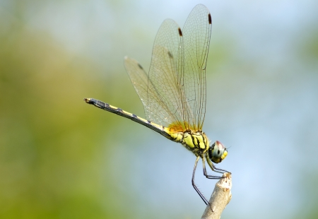 animal vein: insect dragonfly close up Stock Photo
