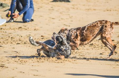 perros jugando: Perros que juegan en una playa