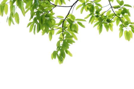 young leaf: Fondo de hoja verde de naturaleza de primavera
