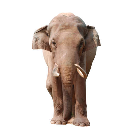 animal elephant isolated in white photo