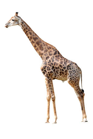 Animal giraffe isolated in white background photo