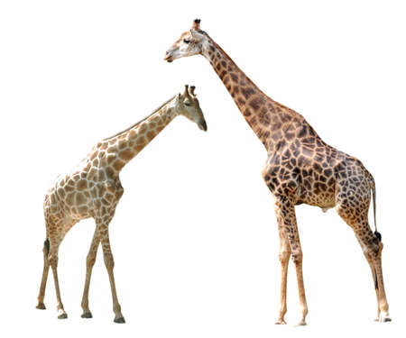 two giraffes isolated in white background. photo
