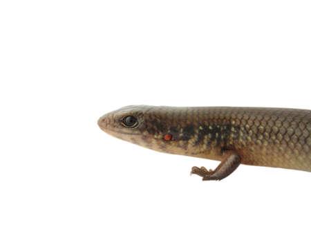reptile animal lizard(Sphenomorphus indicus) isolated in white Stock Photo - 6998330