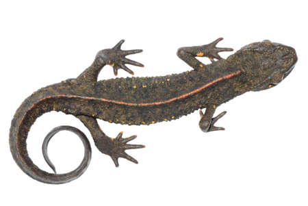animals amphibious: animal chinese salamander  (Paramesotriton chinensis) isolated on white background Stock Photo