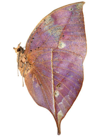 dead leaf butterfly isolated side view photo