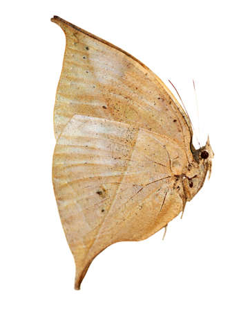 dead leaf: dead leaf butterfly isolated side view