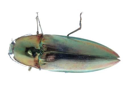 click beetle: shiny green click beetle insect (Camposoternus auratus) isolated