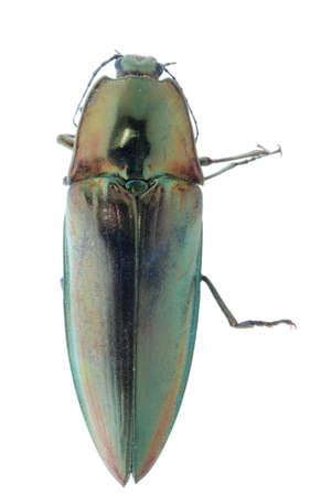 shiny green click beetle insect (Camposoternus auratus) isolated photo