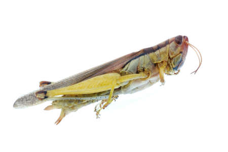 insect grasshopper bug  isolated on white photo
