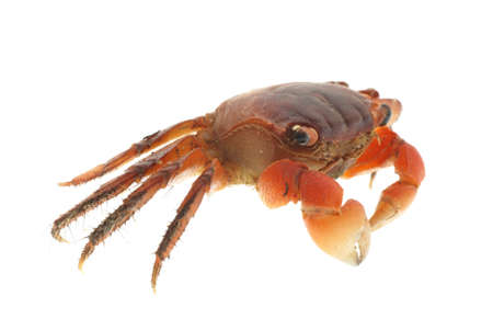 seafood animal red crab isolated on white Stock Photo - 7181189