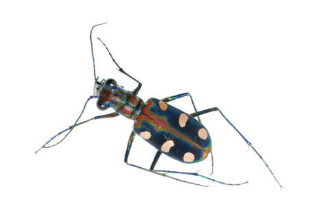 tiger beetle: tiger beetle bug insect isolated on white