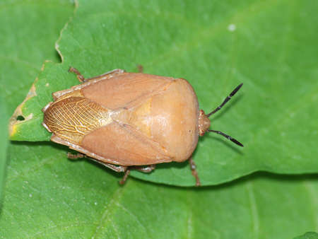 insect stink bug on green leaf photo