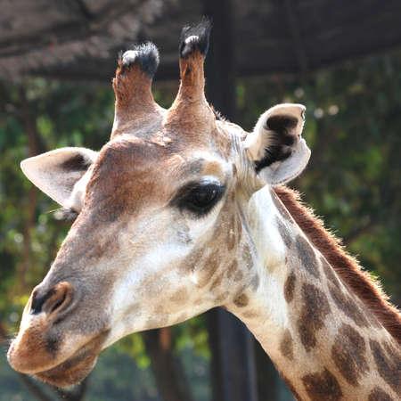 animal giraffe close up photo