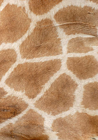 giraffe fur pattern texture background photo