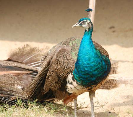 peacock bird Stock Photo - 7181057