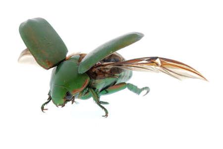 escarabajo: volando el escarabajo verde insecto (Anomala cupripes) aislada sobre fondo blanco  Foto de archivo