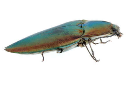 elateridae: shiny green click beetle insect (Camposoternus auratus) isolated