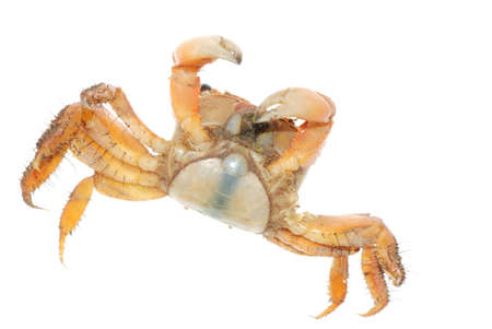 seafood animal red crab isolated on white photo