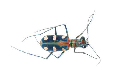 tiger beetle: Cicindelinae bug insetto isolata on white