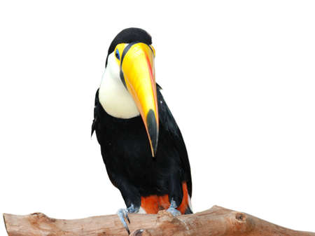 toucan hornbill bird isolated in white photo
