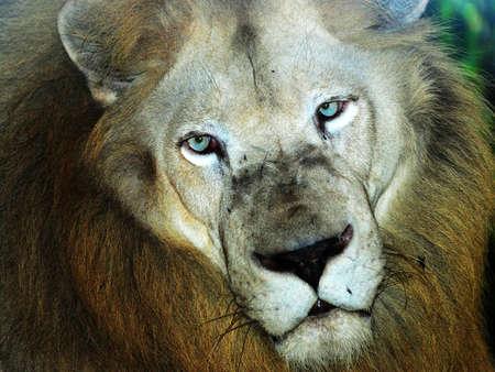 male lion head photo