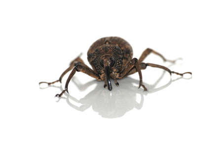 insect snout beetle isolated on white photo