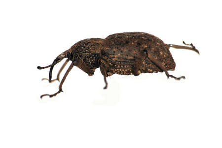 insect snout beetle isolated on white Stock Photo - 7411821