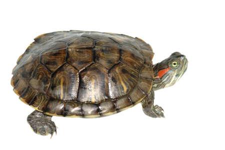 elegans: pet turtle red-eared slider(Trachemys scripta elegans) isolated on white background Stock Photo