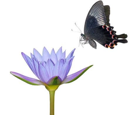 petites fleurs: arrière-plan de nature fleur papillon isolé en blanc