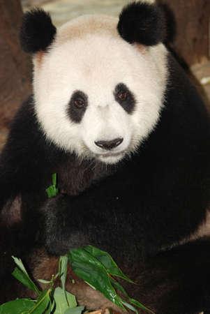 giant panda bear eat bamboo photo