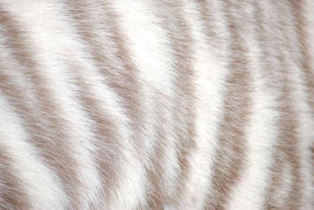 pelage: tiger fur texture
