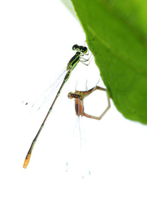 damselfly dragonfly mating isolated on white background Stock Photo - 7479532