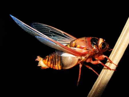 insecta: insect cicada isolated in black