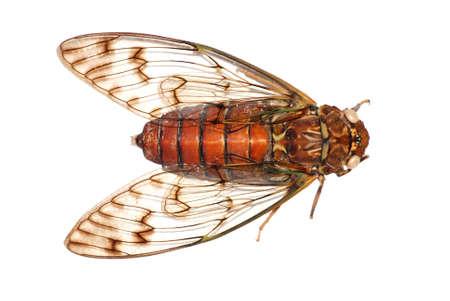 cigale insectes isolé en blanc