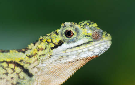 Chinese green lizard head close up photo