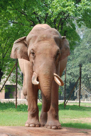 animal elephant stand on ground Stock Photo - 7541139