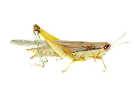 pest insect oriental migratory locust isolated on white Stock Photo - 7810563