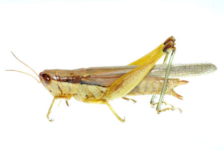 pest insect oriental migratory locust isolated on white Stock Photo - 7810586