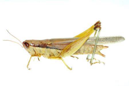"""szarańcza: szkodników owadów orientalne SzaraÅ""""cza samodzielnie na biaÅ'y"""