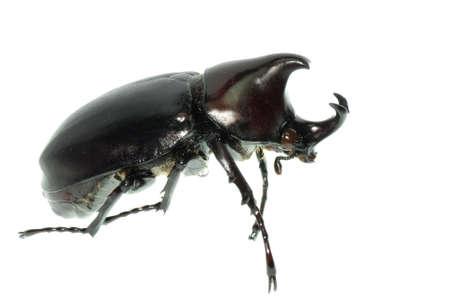 scarab beetle isolated on white Stock Photo