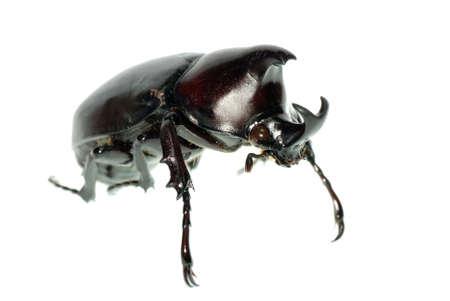 rhinoceros beetle isolated on white photo
