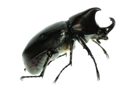 horn beetle: rhinoceros beetle isolated on white