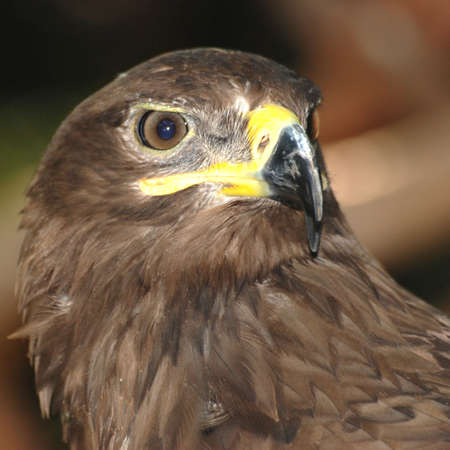 birds eye view: animal eagle bird head close up