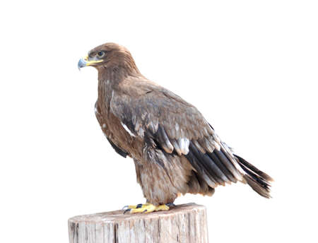 animal eagle bird  isolated on white
