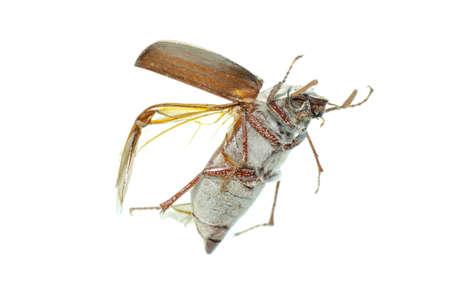 flying scarab beetle isolated on white background photo